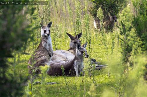 Kangaroos relaxing