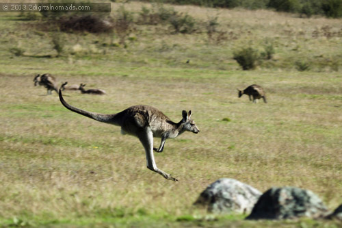 How Fast Can A Kangaroos Go?